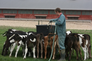 Calves being fed outside